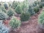 Picea pungens (Blue)