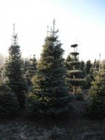 04 Abies koreana Korean Fir